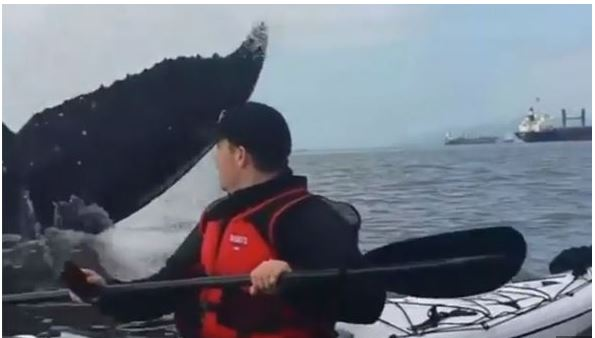 WHALE-threatens-to-overturn-man-in-sea